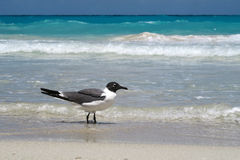 Seagull on the beach. A single seagull walking peacefully and gracefully on the sandy beach of Cuba Stock Photos