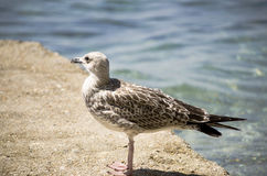 Seagull on the beach. Seagull standing on the beach Royalty Free Stock Images