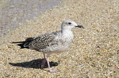 Seagull on the beach. Seagull standing on the beach Royalty Free Stock Image