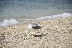 Seagull on the beach. Seagull standing on the beach Stock Photography
