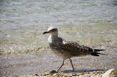 Seagull on the beach. Seagull standing on the beach Royalty Free Stock Photography