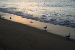 Seagull Beach at sunrise Royalty Free Stock Photography