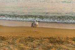 Seagull at the beach. A seagull at the beach at sunset. Skiathos, Greece 2018 stock image