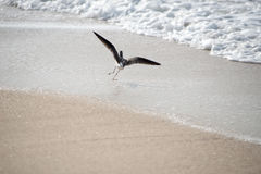 Seagull on beach takeoff with full wings spanned Royalty Free Stock Photography