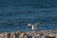 Seagull on the beach. Seagull takes flight on the beach Stock Images