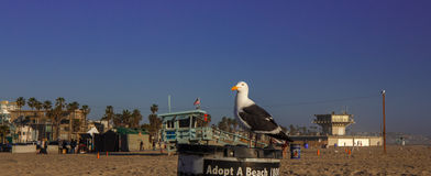 Seagull at Venice Beach. royalty free stock photos