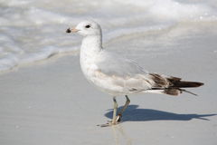 Seagull on beach with waves Royalty Free Stock Images