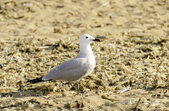 Seagull on beach a wonderful day in Menorca. Royalty Free Stock Photos