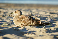 Seagull on a beach. Young seagull lying on a beach Royalty Free Stock Photos