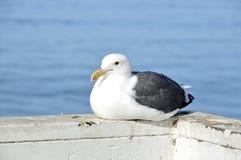 Seagull. Royalty Free Stock Photo