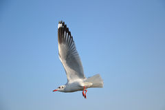 Seagull beautiful Royalty Free Stock Image