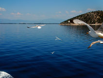 Seagull 2. Beautiful weather, blue sky, blue sea, seagulls flying Royalty Free Stock Photos