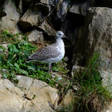 Seagull Beautiful wildlife. Royalty Free Stock Photo