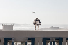Seagull from behind Royalty Free Stock Photography