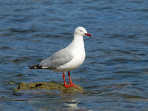 Seagull at Bellerive. A Seagull or Silver Gull (Chroicocephalus novaehollandiae) sunning itself on a rock Stock Photography