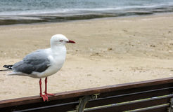 Seagull on bench. Silver gull perched on bench overlooking beach Stock Photo