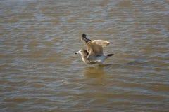 Seagull bierze skąpanie Fotografia Royalty Free