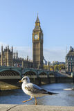 Seagull with Big Ben Stock Photo