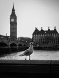 Seagull and Big Ben. Seagull next to river Thames and Big Ben Stock Image