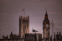 Seagull and Big Ben Stock Images