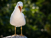 Seagull big open beak call Royalty Free Stock Images