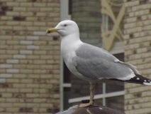 Seagull.  Big and proud. Royalty Free Stock Image