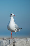 Seagull on big rock. Seagull standing on big rock in front of the blue sky Stock Photo