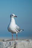 Seagull on big rock Stock Photo