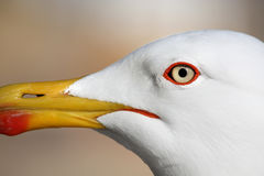 Seagull bird Royalty Free Stock Photo