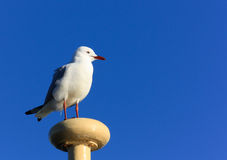 Seagull bird against blue sky. Seagull catches a ride on a harbour ferry mast against blue sky Royalty Free Stock Photos