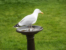 Seagull in a bird bath Royalty Free Stock Photography