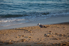 Seagull Bird on the beach by the sea Royalty Free Stock Photo