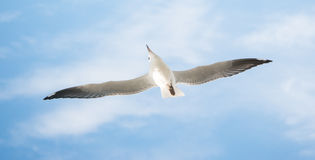 The seagull bird with blue sky background. Stock Photography