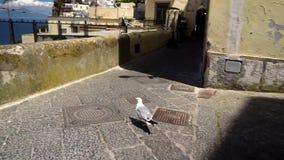 Seagull bird in Capri stock video footage