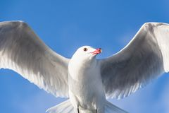 Seagull bird Royalty Free Stock Images