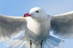 Seagull bird Royalty Free Stock Image
