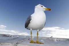 Seagull bird Stock Images