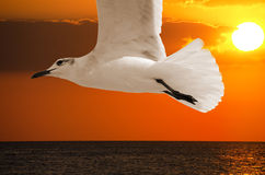 Seagull bird closeup at sunset Stock Images
