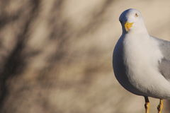 Seagull bird copy space Royalty Free Stock Photography