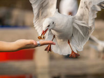 Seagull bird eating Stock Image