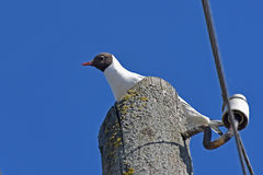 Seagull bird electric pole Stock Images
