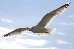 Seagull bird in flight. Seagull bird with spread wings in flight; blue sky and cloudscape background Stock Photo