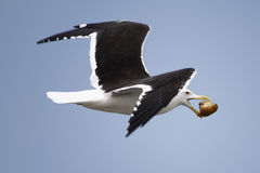 Seagull bird in flight. Side view of seagull bird in flight with object in mouth, blue sky background Stock Image