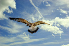Seagull bird in flight. Rear view of seagull bird in flight with blue sky and cloudscape background vector illustration