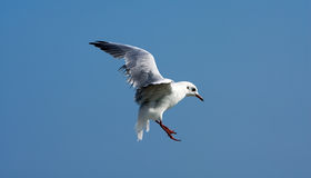 Seagull bird in flight Stock Photo
