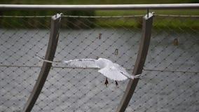 Seagull bird in flight Stock Image