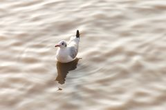 Seagull bird floating on the rippled water surface at the sea with sunset light in the summer time. animal and natural concept. Seagull bird floating on the royalty free stock photography