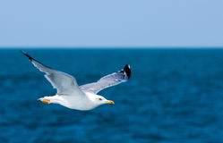 Seagull bird in fly Stock Photo