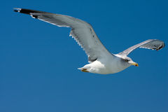 Seagull bird in fly Royalty Free Stock Image