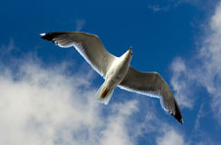 Seagull bird in fly Stock Images